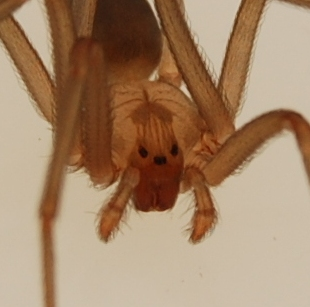 brown-recluse-spider-eyes