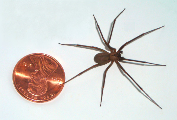 The brown recluse is a small but very poisonous spider