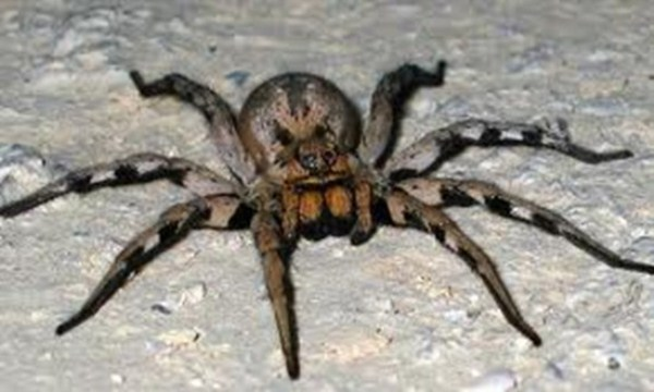 The Brazilian wandering spider is the world's most venomous spider