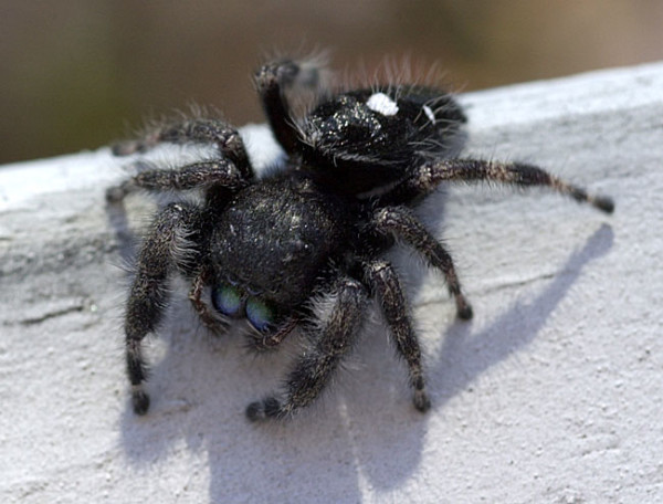 A jumping spider can be green or black in color, with designs on its body