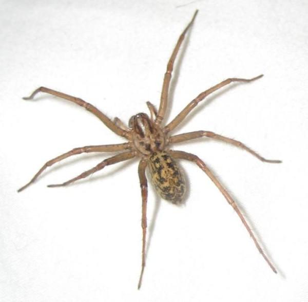 hobo-spider