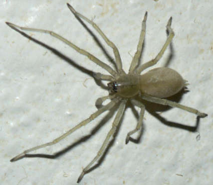 Yellow sac spiders have a generally pale color and an abdomen with no distinct markings