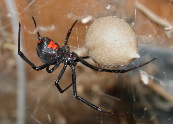 A black widow spider bite is typically not deadly