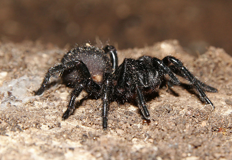 funnel-web-spider