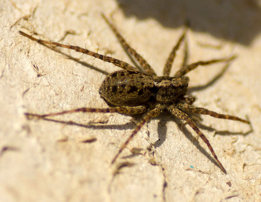 The female wolf spider can hunt while at the same time carry her eggs at the end of her abdomen.
